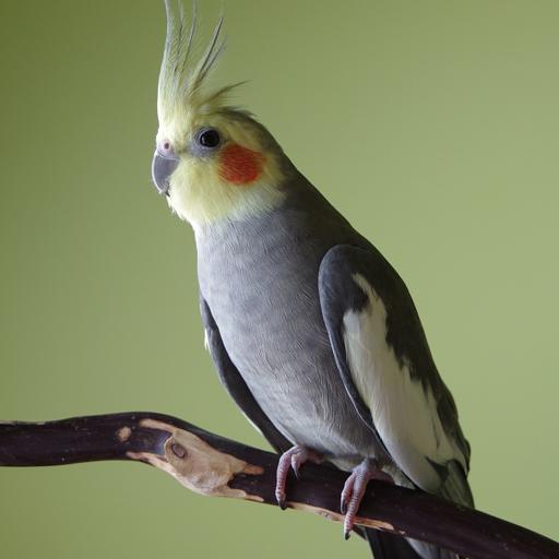 นกค็อกคาเทล (Cockatiel)