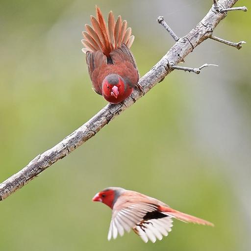 นกฟินซ์ (Gouldian Finch)