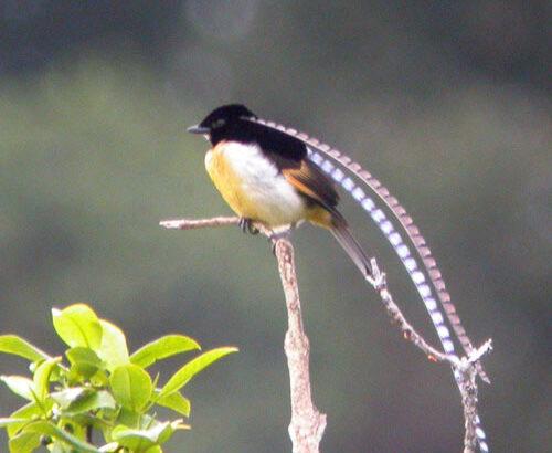 นกสายพันธุ์ที่สวยอันดับต้นๆของโลก