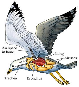 ลักษณะโครงสร้างของนก
