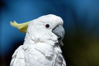 นกกระตั้ว (Cockatoo)
