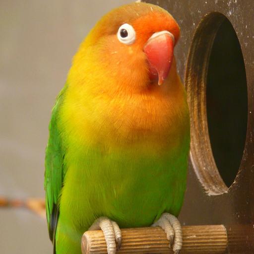 นกเลิฟเบิร์ด (Lovebird)