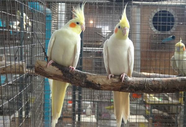 นก ค๊อกคาเทล (Cockatiel)