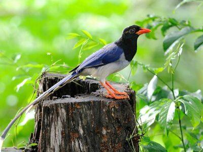 นกขุนแผน (Oriental Magpie Robin)