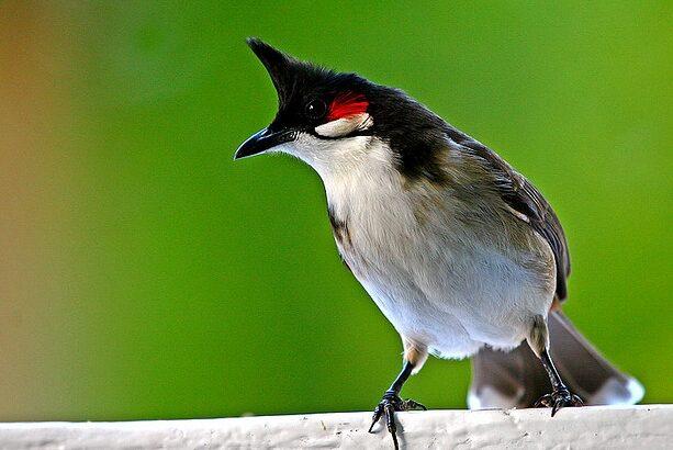 นกกรงหัวจุก (Red-whiskered bulbul)